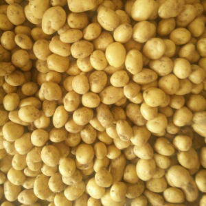 Golden Supplier of Fresh Potato From China pictures & photos