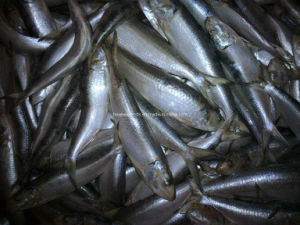 Small Sardines for Bait pictures & photos