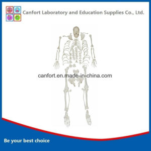 Hihg Quality Anatomical Natural Size Full Bones Model, Skeleton Model (without support) pictures & photos