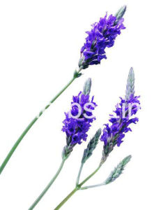 High Purity Natural Lavender Oil with ISO Certificate pictures & photos