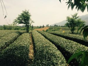 Good Taste and Healthy Oolong Tea pictures & photos