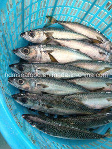 W/R Fresh Frozen Seafood Mackerel Fish pictures & photos