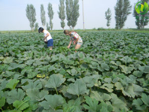 Chinese Green Pumpkin Seeds with Top Qualityaa pictures & photos