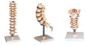 Human Model-Thoracic Vertebra, Cervical Vertebra, Lumbar Model pictures & photos
