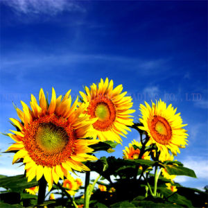 Chinese Sunflower Seeds 5009 with Top Quality for Exporting pictures & photos