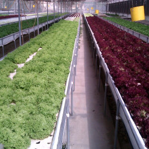 High-Tech Greenhouses and Hydroponic Systems for Vegetable Growing pictures & photos
