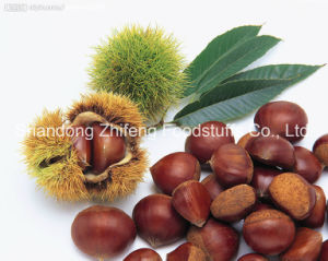 Organic Fresh Raw Chestnut pictures & photos