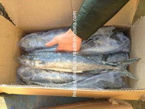 Frozen Spanish Mackerel (400-600g) pictures & photos