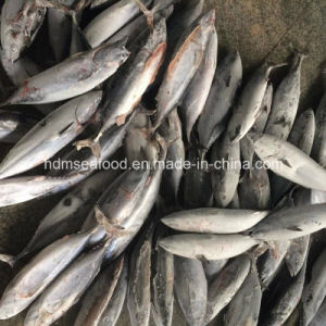 Big Size Frozen Bonito Tuna (750g+) pictures & photos