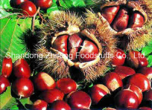 Size 60-80 Fresh Chestnut pictures & photos