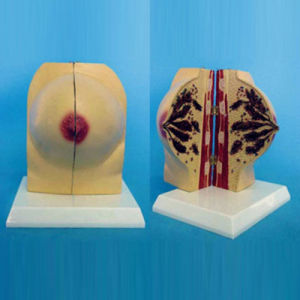 Normal Female Breast Anatomy Model for Medical Teaching (R150106) pictures & photos