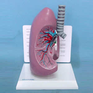 Human Lung and Trachea Anatomic Medical Teaching Model (R090206)