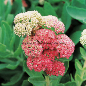 Rosavins Salidroside Rhodiola Rosea Extract pictures & photos