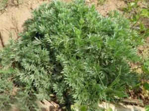 Wormwood Extract pictures & photos