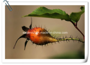 Manufacturer Cherokee Rose Fruit/ Rosa Laevigata Extract Powder pictures & photos