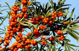 Anti-Oxidiant Sea Buckthorn Seed Oil; Hippophae Rhamnoides L pictures & photos