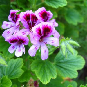 Pure Rose Geranium Essential Oil for Skin Care pictures & photos