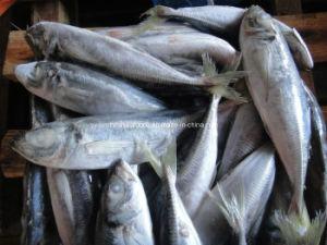 Whole Round Jack Mackerel Fish pictures & photos