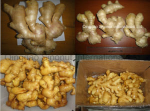 The Air-Dry Ginger with 250g&up pictures & photos
