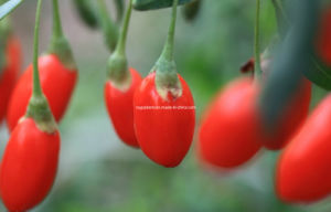 Ningxia Goji Berry (0003) pictures & photos