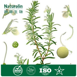 High Quality Pure Natural Anti-Oxidant Rosemary Extract with Rosmarinic Acid Powder for Food Addictive