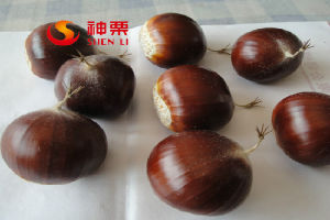 Organic Fresh Chestnut for Sale--The Best Chestnut in China