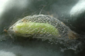 Live Insect Plutella Xylostella Pupae for Sale pictures & photos