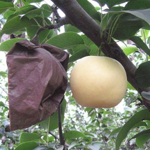 2016 Fresh New Crop Golden Pear/Crown Pear pictures & photos