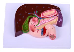 Section Modes of Liver, Gallbladder, Pancreas, Duodenum, Stomach Model pictures & photos