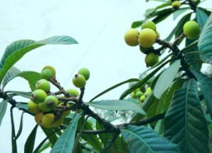 Kingherbs′ 100% Natural Loquat Leaf Extract: Ursolic Acid 25%-90% pictures & photos