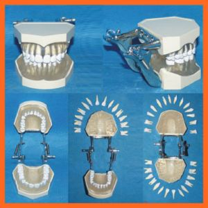 Natural Adult Teeth Model for Dental Students