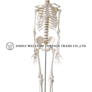 Model of The Human Skeleton Plastic PVC pictures & photos