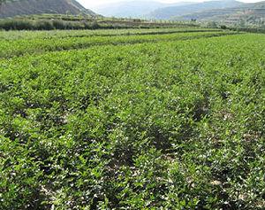 Herb Monoammonium Glycyrrhizinate From Factory pictures & photos