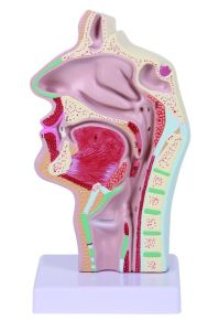 PVC Human Anatomy Median Section of The Head Model