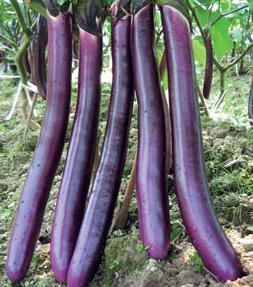 New Red Coral - Hybrid Eggplant Seed (F1)