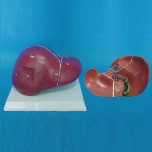 Medical Teaching Human Liver Anatomy Model (R100103)