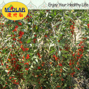 Medlar Certified Gojivberry Organic Goji Berry pictures & photos