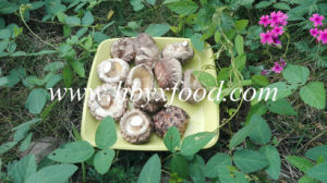 Mushroom for Sale Dried Tea Flower Mushroom Producer pictures & photos