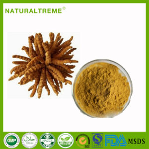 Top Sale Chinese Herbal Extract Caterpillar Fungus pictures & photos