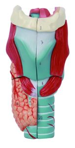 Enlarge Human Larynx Model pictures & photos