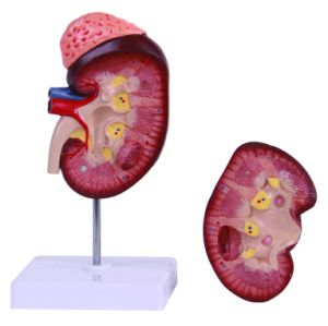 Anatomy Kidney with Adrenal Gland Model pictures & photos