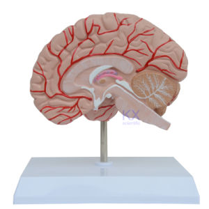 Kx-A6101 Right Brain Model with Nerves