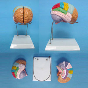 Medical Demonstration Human Skull Brain Labeled Anatomic Model (R050107) pictures & photos