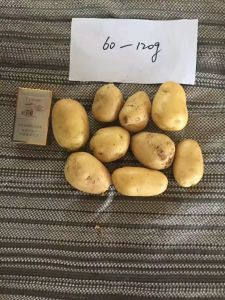 2017 Fresh Potato for Export pictures & photos