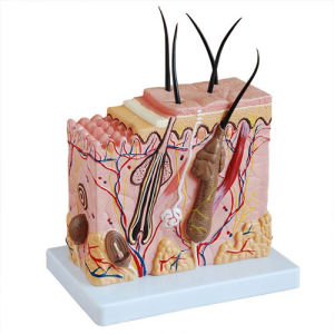 Human Skin Block Model for Education pictures & photos