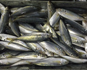 Carapau Horse Mckerel Fish for Angola Market pictures & photos