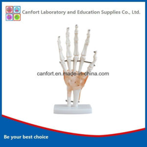 PVC Anatomic Model Natural Size Hand Joint Model with Ligament pictures & photos