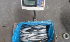 Pacifica Mackerel