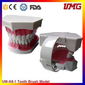 Dental Demonstration Model Baby Toothbrushing Model Hot Sale on pictures & photos