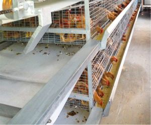 Automatic Chicken Poultry Cage Farm Equipment (H frame) for Day Old Chicken & Small Chicken for Sale pictures & photos